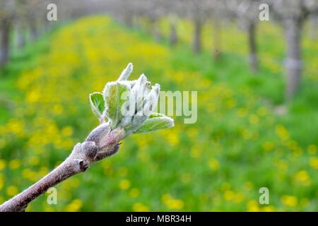 apple buds in an orchard in april,image of a - Stock Photo