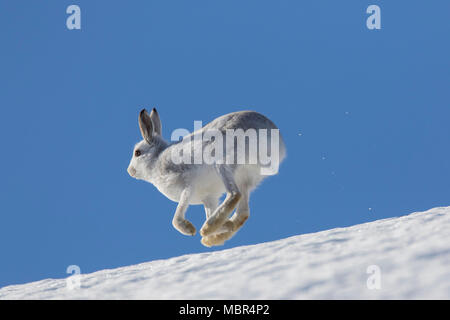 Mountain hare / Alpine hare / snow hare (Lepus timidus) in winter pelage running in the snow down mountain slope - Stock Photo