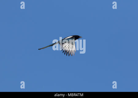 Eurasian magpie / common magpie (Pica pica) in flight against blue sky - Stock Photo