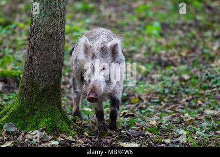 Spotted wild boar (Sus scrofa) brindled piglet foraging in autumn forest - Stock Photo