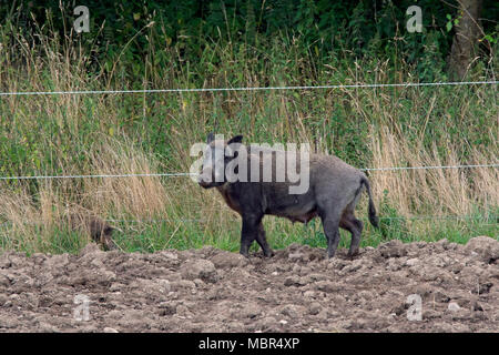 Wild boar (Sus scrofa) sow standing in ploughed field next to electric fence to keep wildlife out - Stock Photo