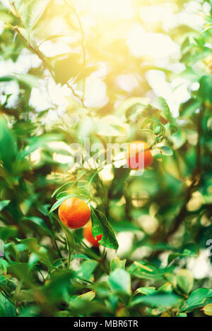 Orange tree with whole fruits. Fresh oranges on branch with green leaves, sunlight effect. Summer concept. Copy space - Stock Photo