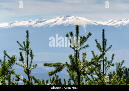 Close up of Picea abies Norway Spruce treetops in sharp focus against blurred snow capped mountain, natural background with coniferous trees - Stock Photo