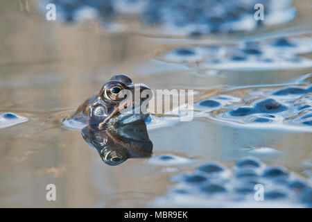 Common frog (Rana temporaria) spawning in waters, Emsland, Lower Saxony, Germany - Stock Photo