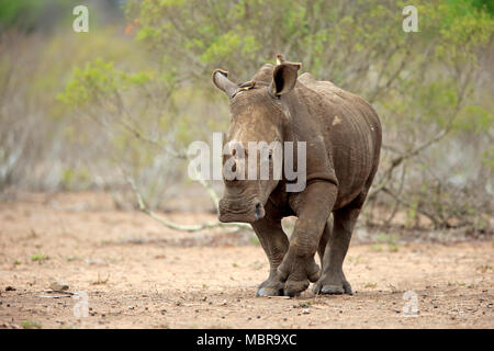 White rhinoceros (Ceratotherium simum), adult, running, with Red-billed oxpecker (Buphagus erythrorhynchus), pachyderm - Stock Photo