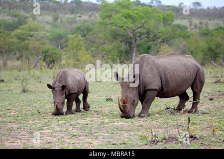 Two White rhinoceroses (Ceratotherium simum), adult, mother animal with half adult, feeding, social behaviour, pachyderm - Stock Photo