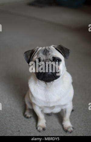 Cute Pup puppy looking upwards with big sad eyes - Stock Photo