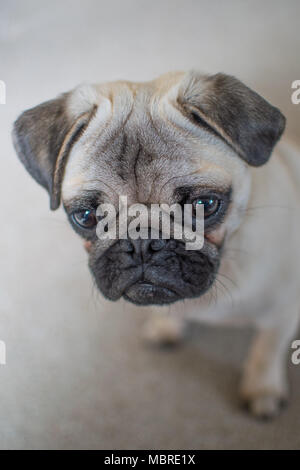Cute Pup puppy looking downwards and folorn with big sad eyes - Stock Photo