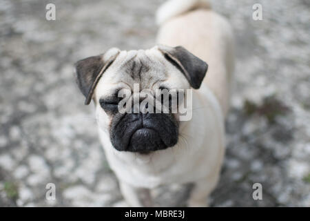 Titan the boy Pug puppy looking upwards with his eyes closed - Stock Photo