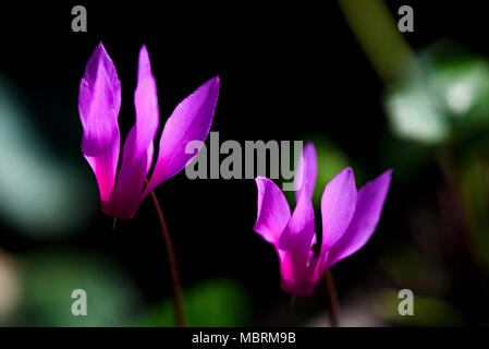 Flowers Cyclamen in spring forest, Close Up - Stock Photo