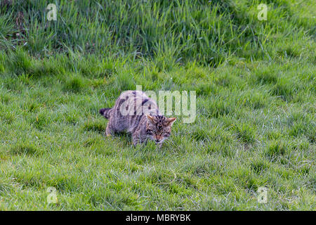 Scottish Wildcat (Felis Silvestris Grampia) stalking in the grass at the British Wildlife Centre, Lingfield Surrey, UK - Stock Photo