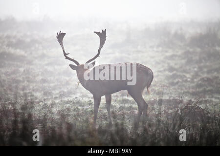 Male fallow deer (buck), with the classic spotted back and palmate antlers, grazing in Bradgate Park, Leicestershire, UK on a foggy October morning - Stock Photo