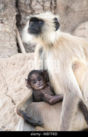 Mother and baby Gray Langurs or Hanuman Langurs, Semnopithecus, Bandhavgarh National Park, Tala, Madhya Pradesh, India - Stock Photo