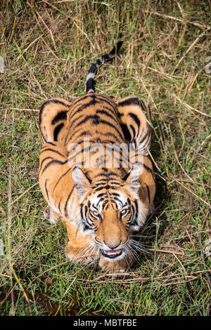 Two year old male Bengal Tiger, Panthera tigris tigris, snarling, looking up from below in the Bandhavgarh Tiger Reserve, Madhya Pradesh, India - Stock Photo
