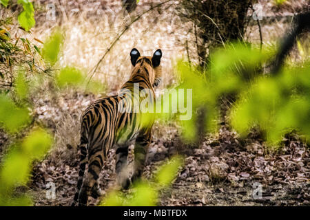 Rear view of a solitary two year old wild male Bengal Tiger, Panthera tigris tigris, in the jungle of the Bandhavgarh Tiger Reserve, India - Stock Photo