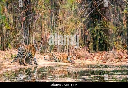 Two cute little wild Bengal Tiger Cubs, Panthera tigris tigris, siblings, by a waterhole in Bandhavgarh Tiger Reserve, Madhya Pradesh, India - Stock Photo