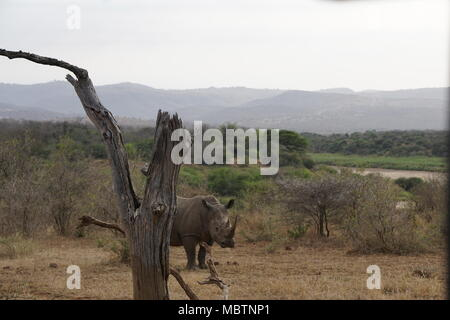 Rhino, Hluhluwe Game Reserve - Stock Photo