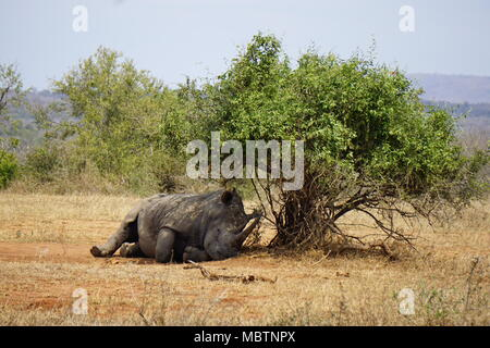 Resting Rhino, Hluhluwe Game Reserve - Stock Photo