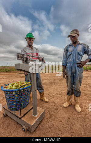 CABINDA/ANGOLA - 09 JUN 2010 - African farmers weighing tomatoes - Stock Photo