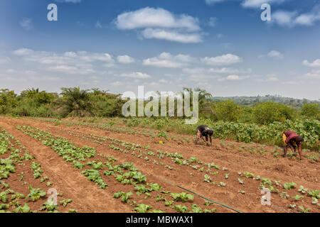Rural farmers to till land in Cabinda. Angola, Africa. - Stock Photo