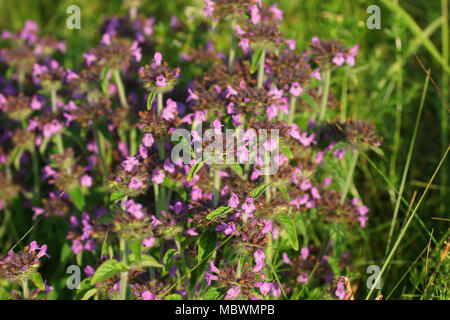 Wild basil grows in a meadow, lit by the warm rays of the setting sun. Clinopodium vulgare is common in the natural habitat. - Stock Photo