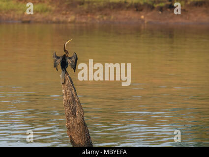 A Cormorant nest with chicks on a tree stump in the Periyar National Park Lake in Thekkady, Kerala, India , Oriental darter - Stock Photo
