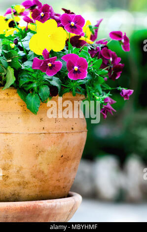 Yellow and violet pansies in flower pot in garden. Copy space. Spring and summer concept. - Stock Photo