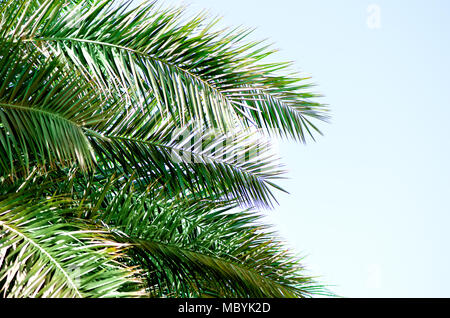 Tropical green palm leaves and branches on blue sky with copy space. Sunny day, summer concept. Sun over palm trees. Travel, holiday background. - Stock Photo