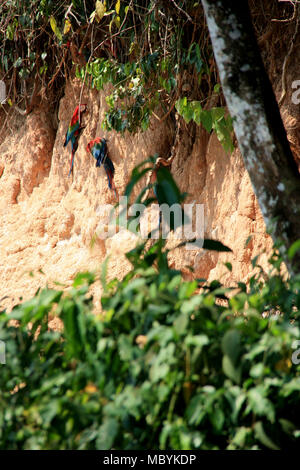 Macaws on a Clay Lick in the Amazon Rainforest, Tambopata National Reserve, Puerto Maldonado, Peru Stock Photo