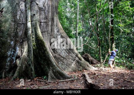 Huge Kapok Tree In Amazon Basin Bolivia Stock Photo