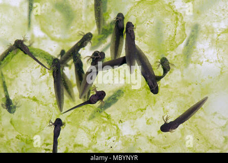European common frog, Rana temporaria, frogspawn with hatched and hatching tadpoles, April - Stock Photo