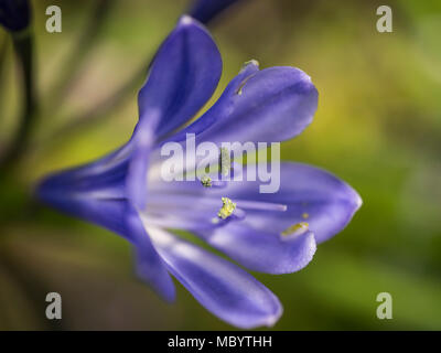 AGAPANTHUS - THE FLOWER OF LOVE