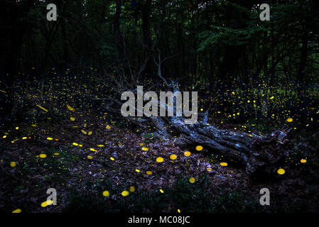 Frireflies flying around a fallen tree in the forest at dusk. - Stock Photo