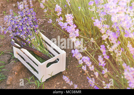 how to cut lavender flowers