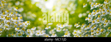 Chamomile garden in the morning - Stock Photo