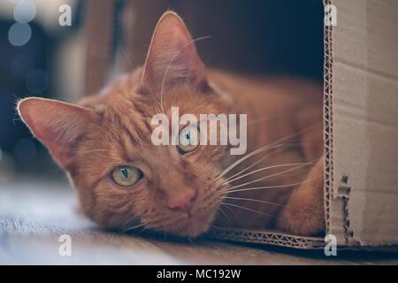 Ginger cat lying in a cardboard box and look to the camera. - Stock Photo