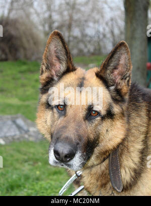 Portrait of a German Shepherd male - Stock Photo