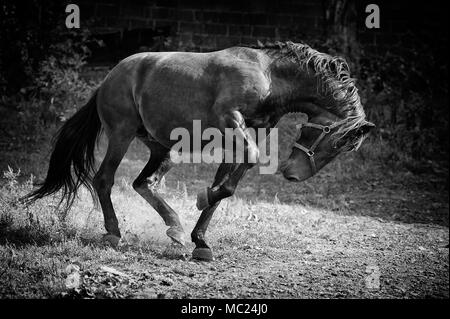 Angry Stallion horse side profile black and white - Stock Photo