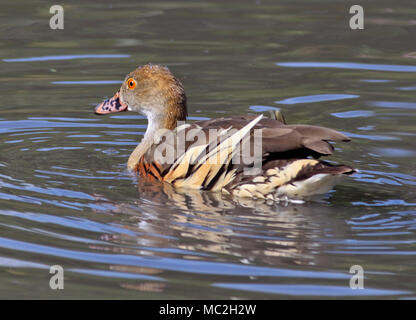 Eytons Whistling Duck/Plumed Whistling Duck (dendrocygna eytoni), UK - Stock Photo