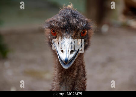 Portrait of an ostrich Emu. Bird's head close-up - Stock Photo