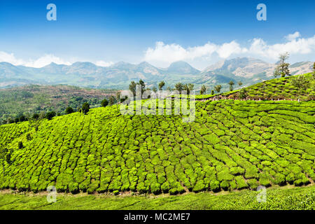View of a tea plantation near the town of Munnar in the ...
