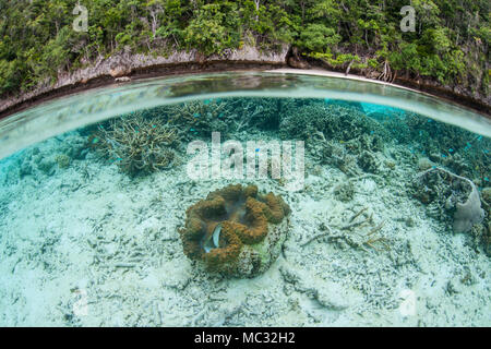 A giant clam, Tridacna gigas, grows in the shallows of Raja Ampat, Indonesia. This remote, tropical region harbors extraordinary marine biodiversity. - Stock Photo