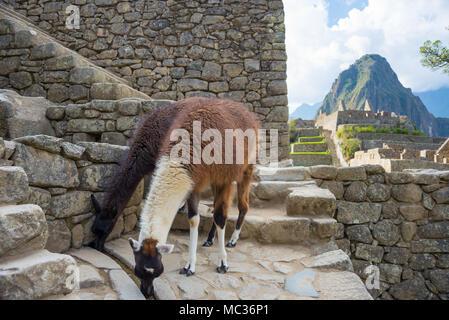 Llamas at Machu Picchu, Peru, top travel destination. - Stock Photo