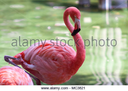 Flamingo in a wild in South Florida - Stock Photo