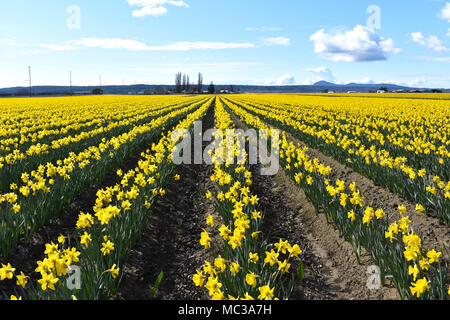 Dutch Master Daffodils blooming in Skagit Valley, Washington, USA - Stock Photo