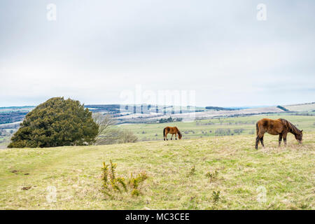 Ponies at Cissbury Ring, one of the largest hill forts in Europe, in the South Downs National Park in the English county of West Sussex, England, UK - Stock Photo