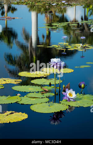 Nymphaeaceae - water lilies in pond at Naples Botanical Gardens, Naples, Florida, USA - Stock Photo