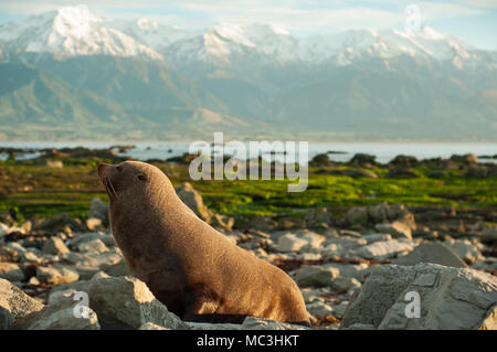 it wild life seal in kaikoura new zealand. i took it early morning so it look very sleepy. if you want image of morning, you can use it. - Stock Photo
