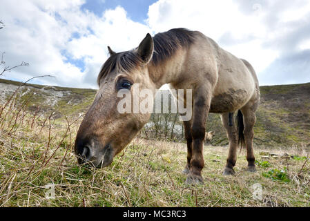 Konik Ponies on Malling Down, Lewes, East Sussex, used by Sussex Wildlife Trust to graze on the South Downs National Park. - Stock Photo