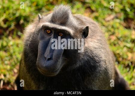 Close up portrait of a celebes crested macaque (Macaca nigra) - Stock Photo